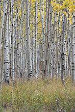 Espe,Populus tremula,Laubwald,Farbe,Farben,folgen,Herbst,lebhaft,Laub,Ahorn