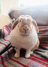 hoch,oben,sitzend,Portrait,Couch,Kaninchen,Teppichboden,Teppich,Teppiche