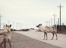 Rentier,Rentiere,Rangifer tarandus,Ländliches Motiv,ländliche Motive,Auto,Fernverkehrsstraße,nähern,Neufundland,Kanada