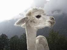Lama,Lama buanicoe glama,nahe,stehend,Berg,Close-up,close-ups,close up,close ups