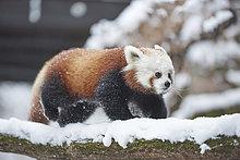 Kleiner Panda, Ailurus fulgens, im Schnee, Deutschland, Europa