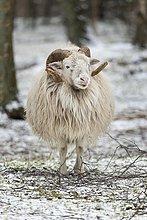 Heidschnucke oder Skudde im Winter (Ovis ammon f.aries), Schleswig Holstein, Deutschland, captive, Europa