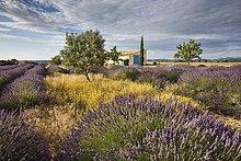 Blühendes Lavendelfeld (Lavandula angustifolia) vor Landhaus, Département Alpes-de-Haute-Provence, Region Provence-Alpes-Côte d?Azur, Frankreich, Europa