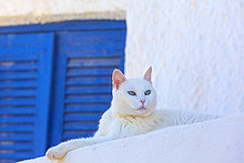 Weiße Katze, Oia, Santorin, Kykladen, Griechenland, Europa