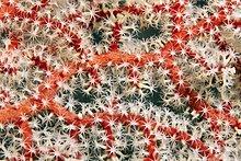 Detail von Hornkoralle (Acantogorgia sp.), rot, mit Polypen, weiß, Palawan, Mimaropa, Sulu See, Pazifik, Philippinen, Asien