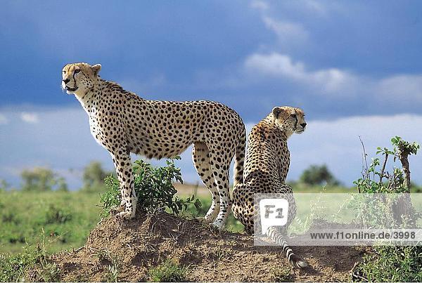 Zwei Geparden (Acinonyx Jubatus) auf kleinen Hügel  Masai Mara National Reserve  National Reserve  Kenia Zwei Geparden (Acinonyx Jubatus) auf kleinen Hügel, Masai Mara National Reserve, National Reserve, Kenia