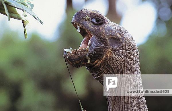Close-up of Galapagos Tortoise (Geochelone nigra) with open mouth  Galapagos Islands  Ecuador