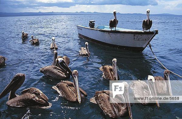 Flock of Brown Pelican (Pelecanus occidentalis) floating in water  Galapagos Islands  Ecuador
