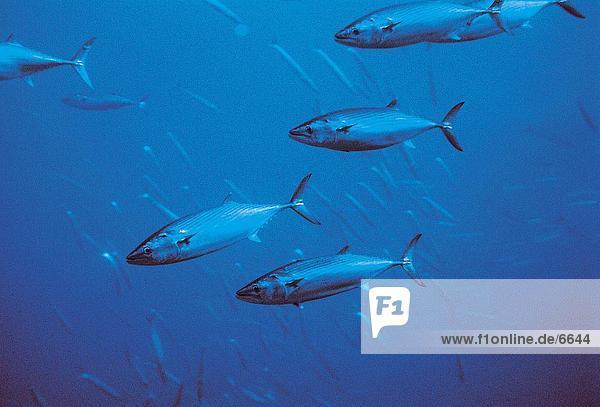 Unterwasseraufnahme Atlantischer Ozean Atlantik Portugal Fisch unterwasser Fischschwarm