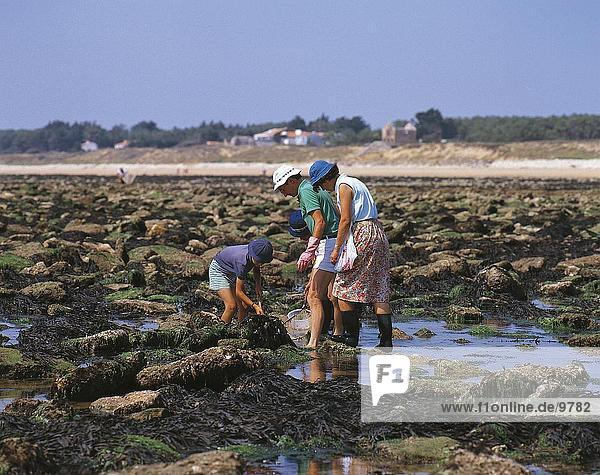 Family collecting mussels on the beach  France