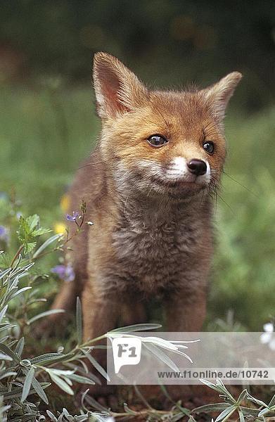 Red fox cub (Vulpes vulpes) in field  Germany