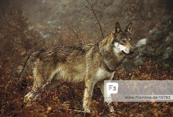 Gray wolf (Canis lupus) standing in forest  Abruzzo National Park  Italy