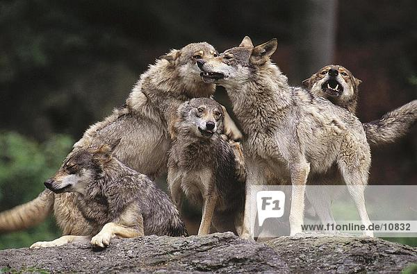 Gray wolves (Canis lupus) snarling in forest  Merzig  Germany