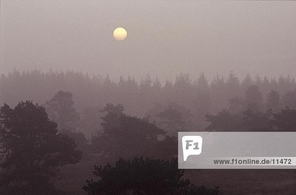 Sonnenaufgang über Kiefern in den Morgennebel,  Veluwe,  Niederlande