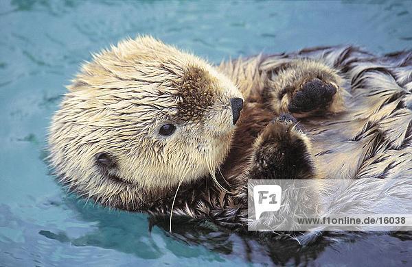 Otter Lutrinae Meer schwimmen British Columbia Kanada Stanley Park Vancouver Otter,Lutrinae,Meer,schwimmen,British Columbia,Kanada,Stanley Park,Vancouver