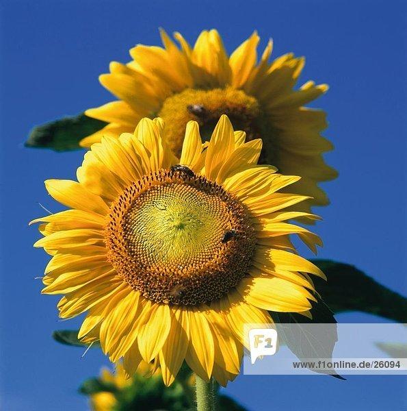 Nahaufnahme der Sonnenblume (Heliantus Annuus) gegen blauen Himmel
