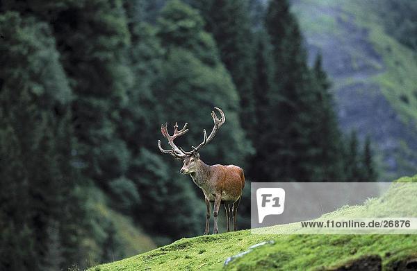 Männlich Red Deer (Cervus Elaphus) stehend auf hill Männlich Red Deer (Cervus Elaphus) stehend auf hill