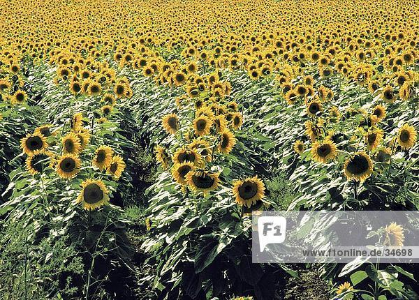 Sonnnenblumen im Feld