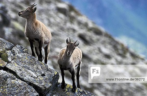 Two Chamois (Rupicapra rupicapra) on mountain