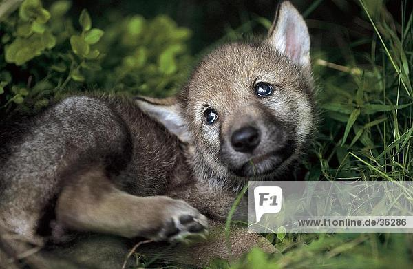 Close-up of cub of Grey wolf (Canis lupus) in forest  Bavarian Forest National Park  Bavaria  Germany