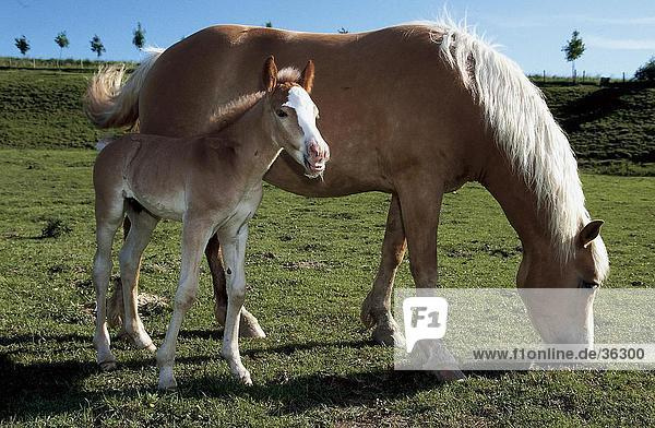 Haflinger horse standing with its foal in field