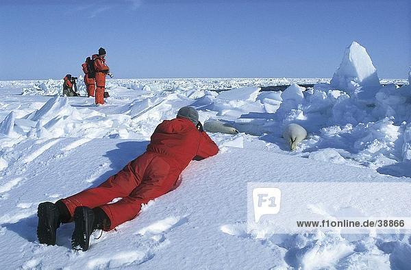 Fotograf Taking Bild der Sattelrobbe (Pagophilus Groenlandica) im Schnee  Magdalenen-Inseln  Québec  Kanada