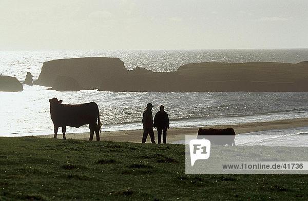 Zwei Menschen mit Kühe am Strand  St. Ninian's Isle  Shetland-Inseln  Schottland