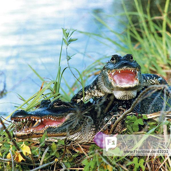 Zwei amerikanischen Alligators (Alligator Mississippiensis) im Sumpf  Everglades National Park  Florida  USA Zwei amerikanischen Alligators (Alligator Mississippiensis) im Sumpf, Everglades National Park, Florida, USA