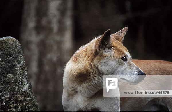 Wildhund Close-up Zoo Zoologischer Garten Zoologische Gärten Australien australisch New South Wales Sydney