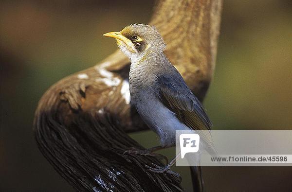 Nahaufnahme der Gelbstirn-Schwatzvogel (Manorina Flavigula) hocken auf Zweig  Australien