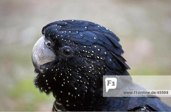 Nahaufnahme des Leiters des-Rabenkakadu (Calyptorhynchus Banksii) Papagei  New South Wales  Australien