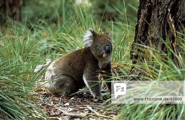 Koala (Phascolarctos Cinereus) im Wald  Flinders-Chase-Nationalpark  Känguru-Insel  Australien