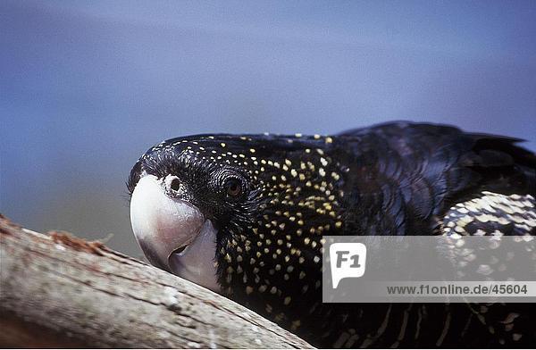 Nahaufnahme-Rabenkakadu (Calyptorhynchus Banksii) Papagei  Australien