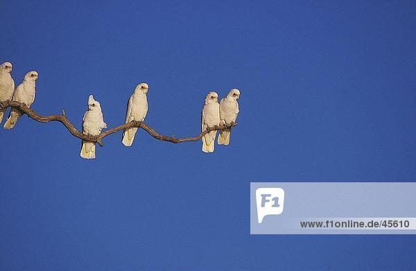 Vogelschwarm wenig Corella (Cacatua Sanguinea) hocken auf Zweig  Australien