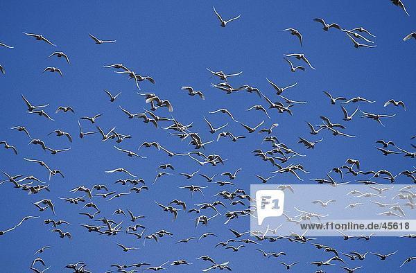 Untersicht of Vogelschwarm Sulphur-Crested Cockatoo (Cacatua Galerita) im Flug  Australien