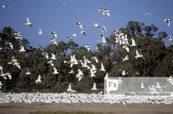 Vogelschwarm wenig Corella (Cacatua Sanguinea) im Flug  Australien