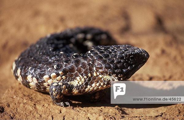 Nahaufnahme von Tannenzapfen Lizard (Tiliqua Rugosa) auf roten Sand  Australien