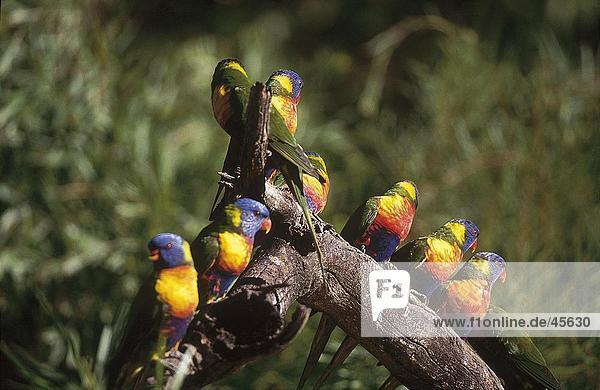 Vogelschwarm Allfarblori (Trichoglossus Haematodus) hocken auf Zweig  Warrawong  Australien