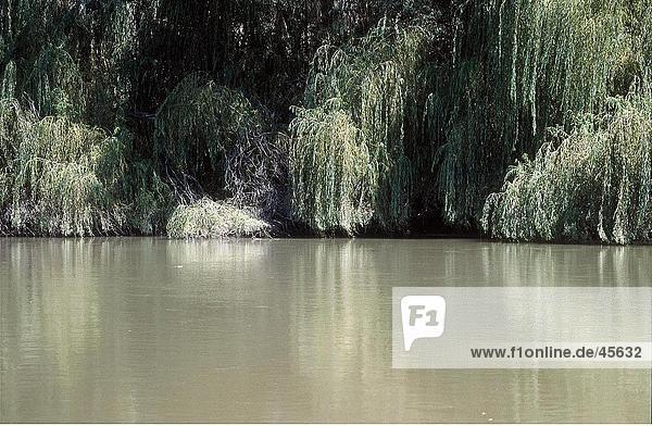 Bäume am Flussufer  Murray River  Australien