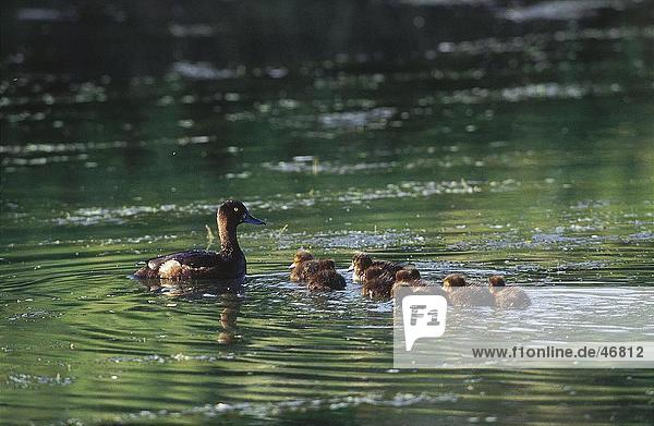 Ente mit Entlein schwimmt auf See  Deutschland