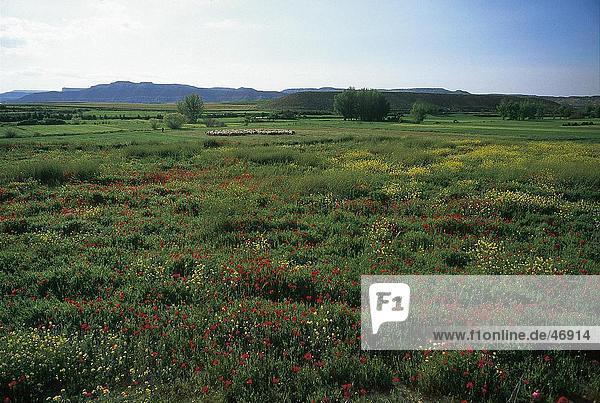 Blumen in Feld  Montuenga  Provinz Soria  Spanien