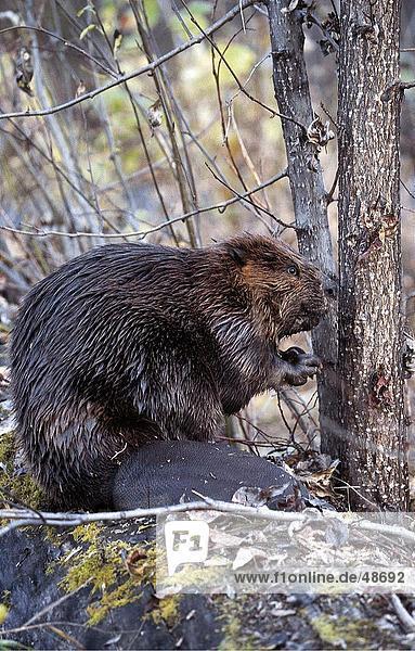 Nordamerikanischer Biber (Castor Canadensis) in Forest  Montana  Alaska  USA