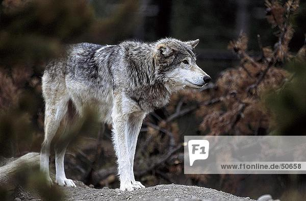 Canadian Gray wolf (Canis lupus) in forest  Canada
