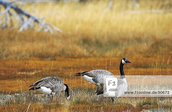 Three Canada Geese (Branta canadensis) in field  Jasper National Park  Alberta  Canada