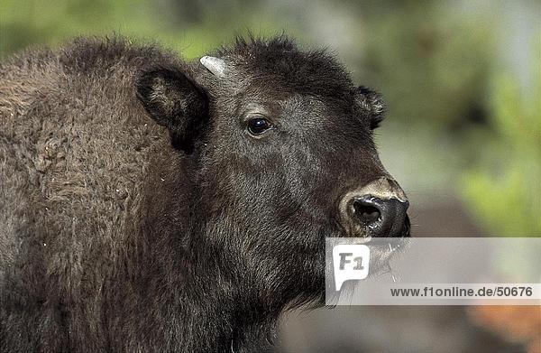 Close-up of American Bison (Bison bison)  Waterton National Park  Canada