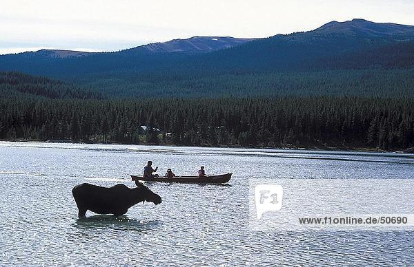 Silhouette of Moose (Alces alces) standing in lake with boat in background  Maligne Lake  Jasper National park  Alberta  Canada