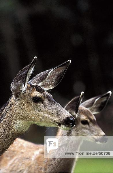 Two White-tailed deer (Odocoileus virginianus) in forest  Waterton National Park  Canada