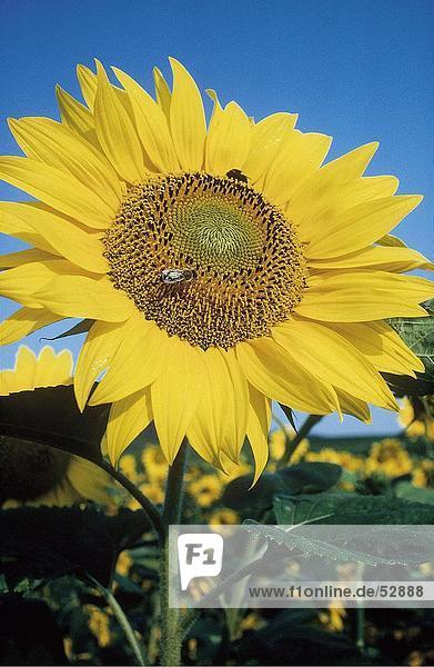 Close-up of blooming Sunflower (Helianthus annuus)
