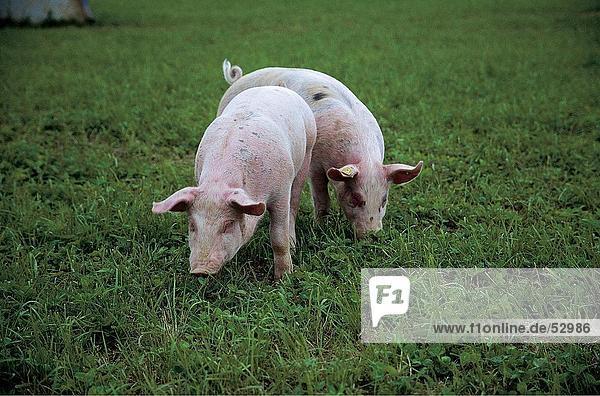 Zwei Schweinen in Wiese