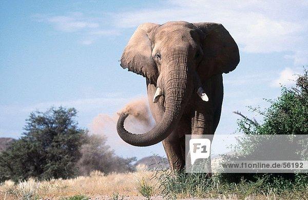 Afrikanischen Elefanten (Loxodonta Africana) im Feld Staub Bad nehmen Afrikanischen Elefanten (Loxodonta Africana) im Feld Staub Bad nehmen